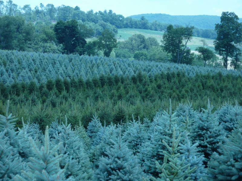 Christmas Tree Seedlings Wholesale