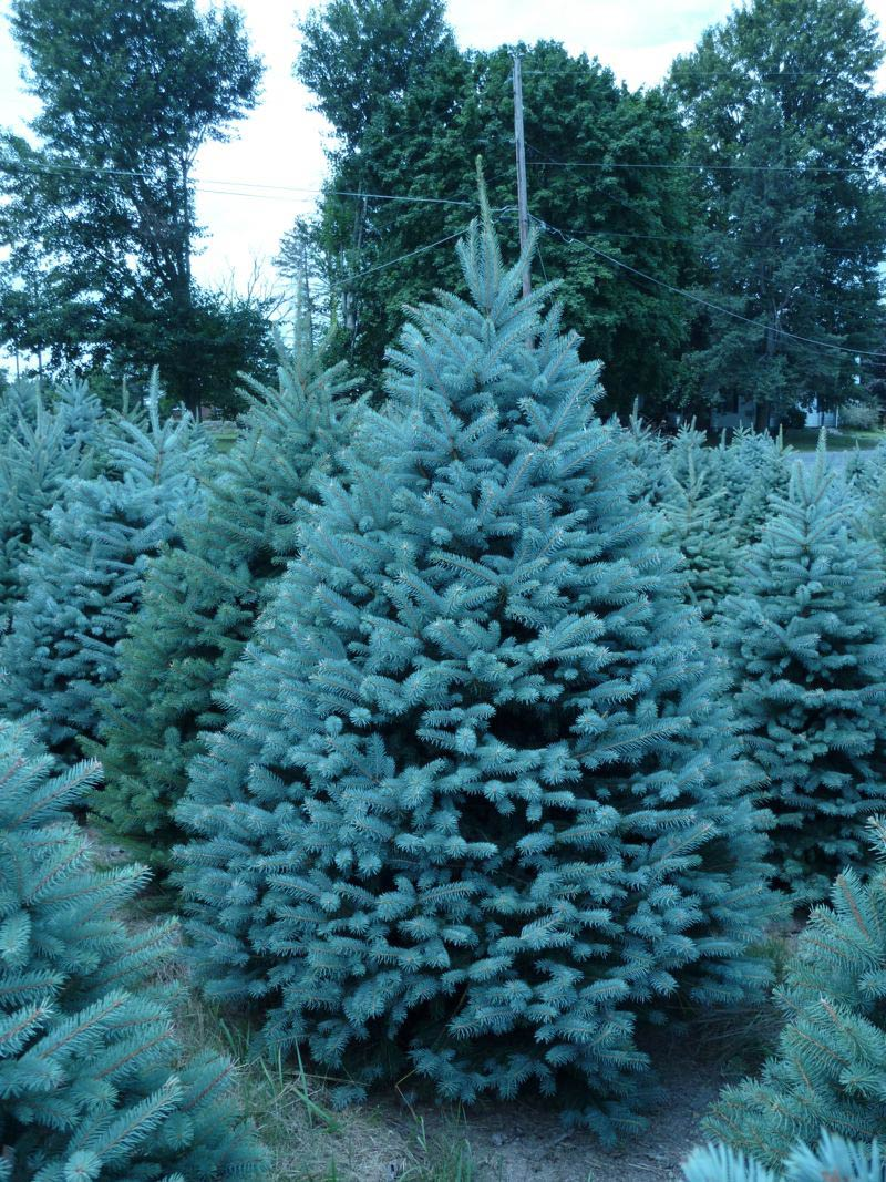 Sale Of Christmas Trees