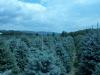 co-blue-spruce-1