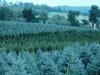 co-blue-spruce-2