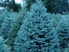 co-blue-spruce-3