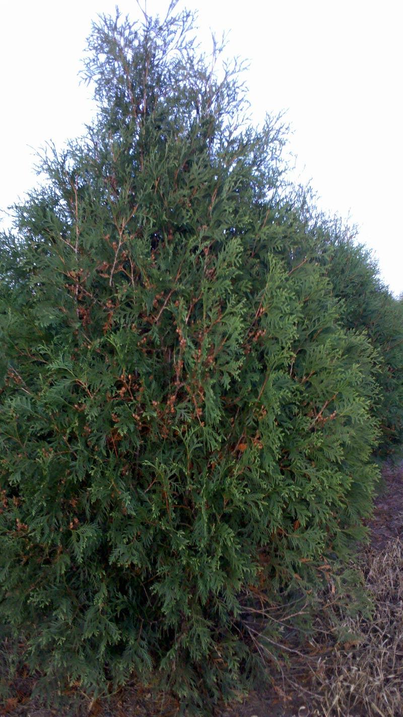 Wholesale dark american arborvitae trees for Cheap trees