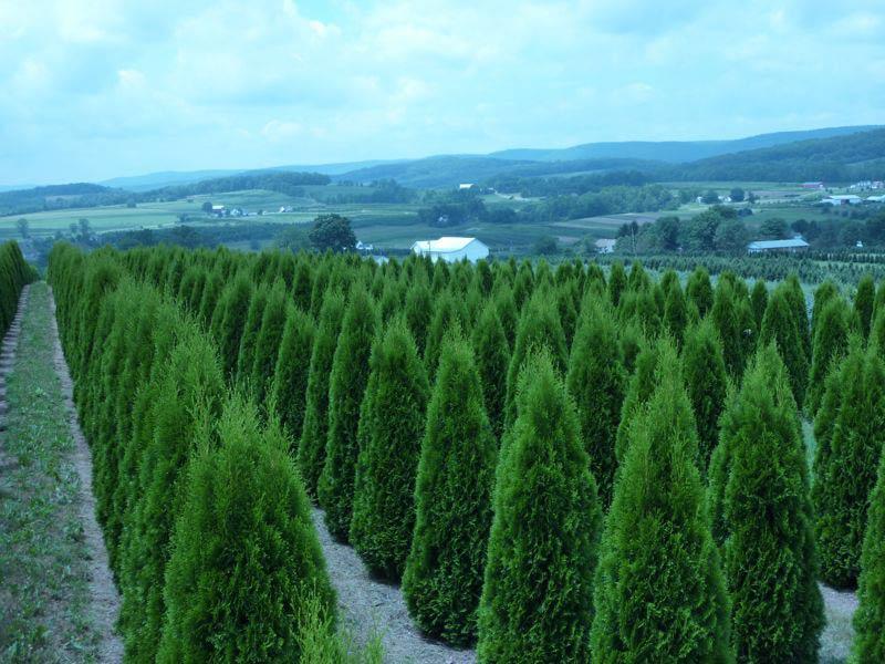 Wholesale Emerald Green Arborvitae Trees
