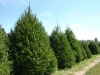 norway-spruce-2