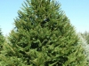norway-spruce-3
