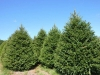 norway-spruce-4