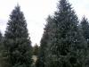 serbian-spruce-1