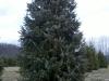 serbian-spruce-4
