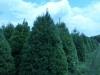 white-pine-1