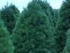 white-pine-4