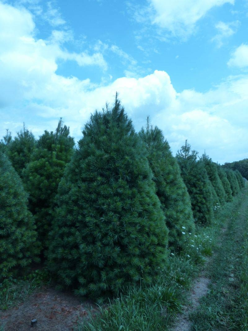 Wholesale white pine trees for Cheap trees