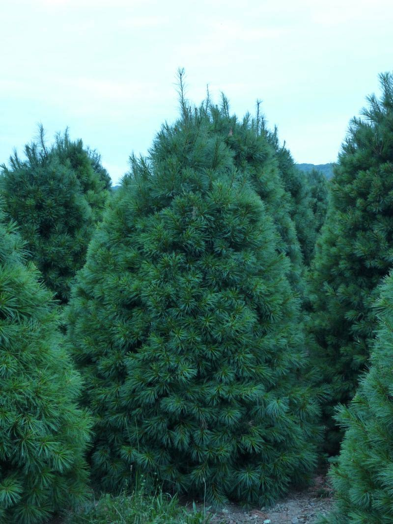 Wholesale White Pine Trees
