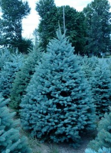 Wholesale Colorado Blue Spruce Trees