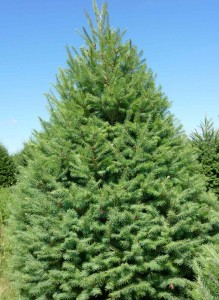 Wholesale Douglas Fir Trees Pennsylvania