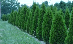 Wholesale Emerald Green Arborvitae Trees Pennsylvania