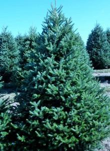 Wholesale Fraser Fir Trees Pennsylvania