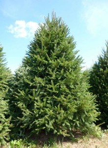 Wholesale Norway Spruce Trees Pennsylvania