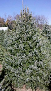 Wholesale Serbian Spruce Trees Pennsylvania