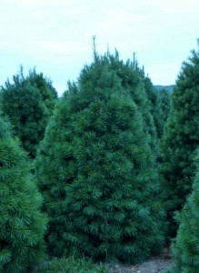 Wholesale White Pine Trees Pennsylvania