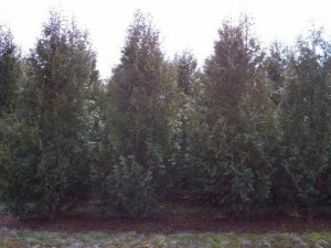 Wholesale Dark American Arborvitae Trees