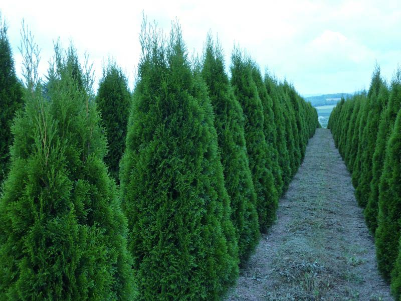 Wholesale Emerald Green Arborvitae Trees