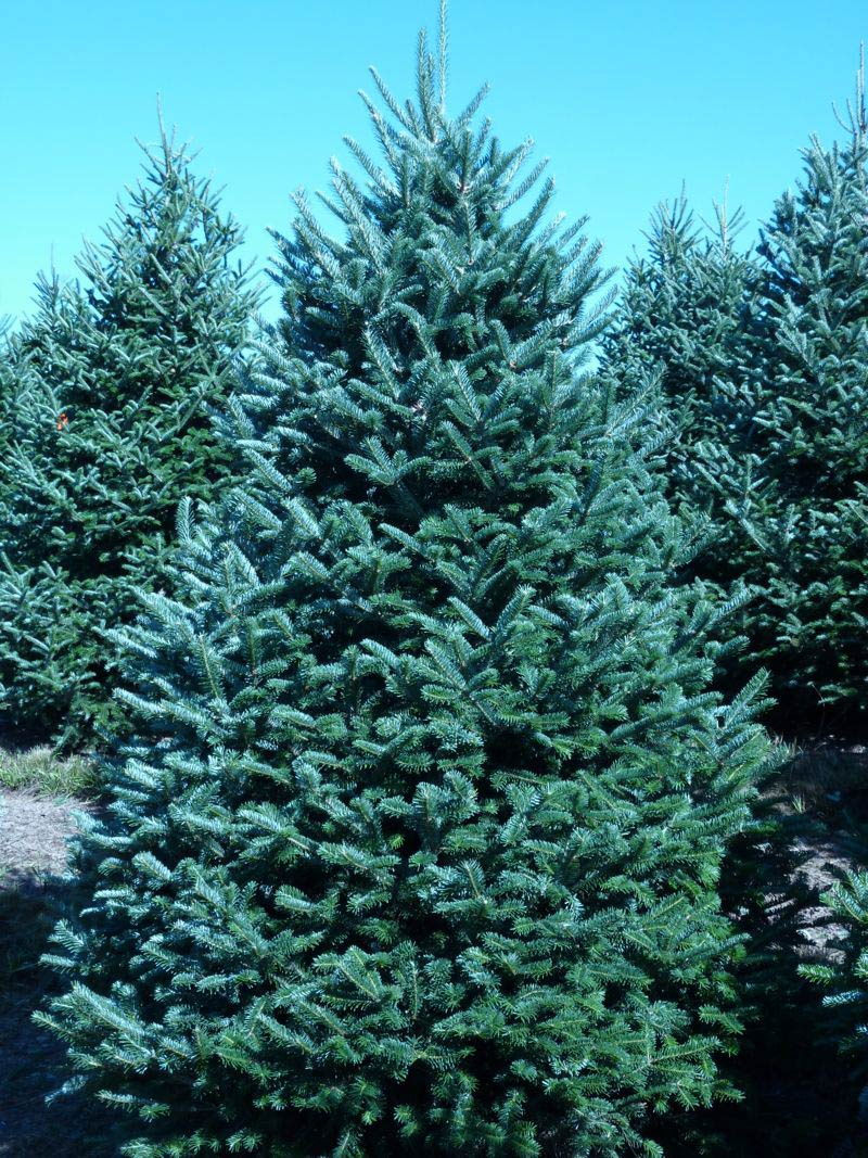 The Wholesale House >> Wholesale Fraser Fir Trees