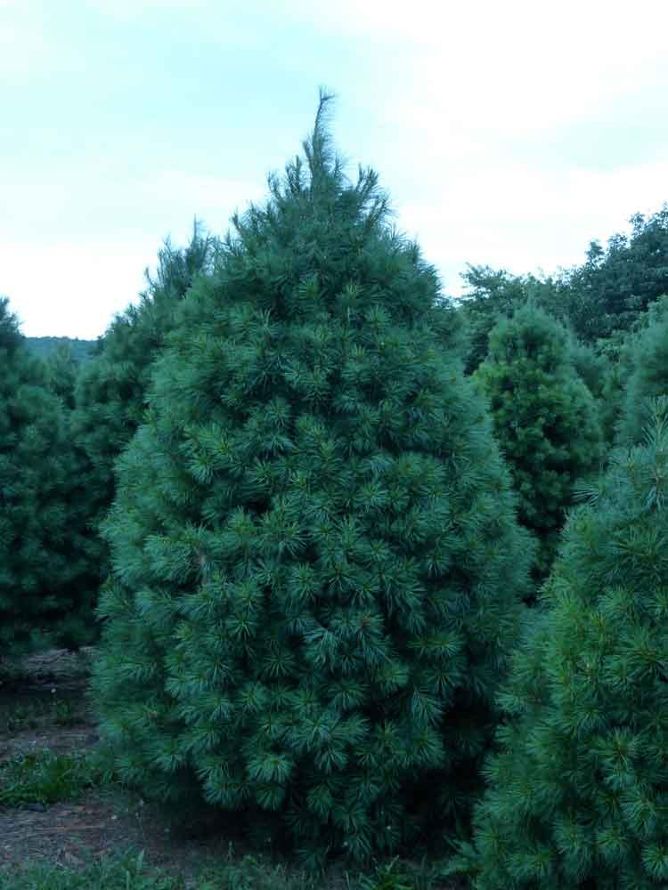 Wholesale White Pine Trees
